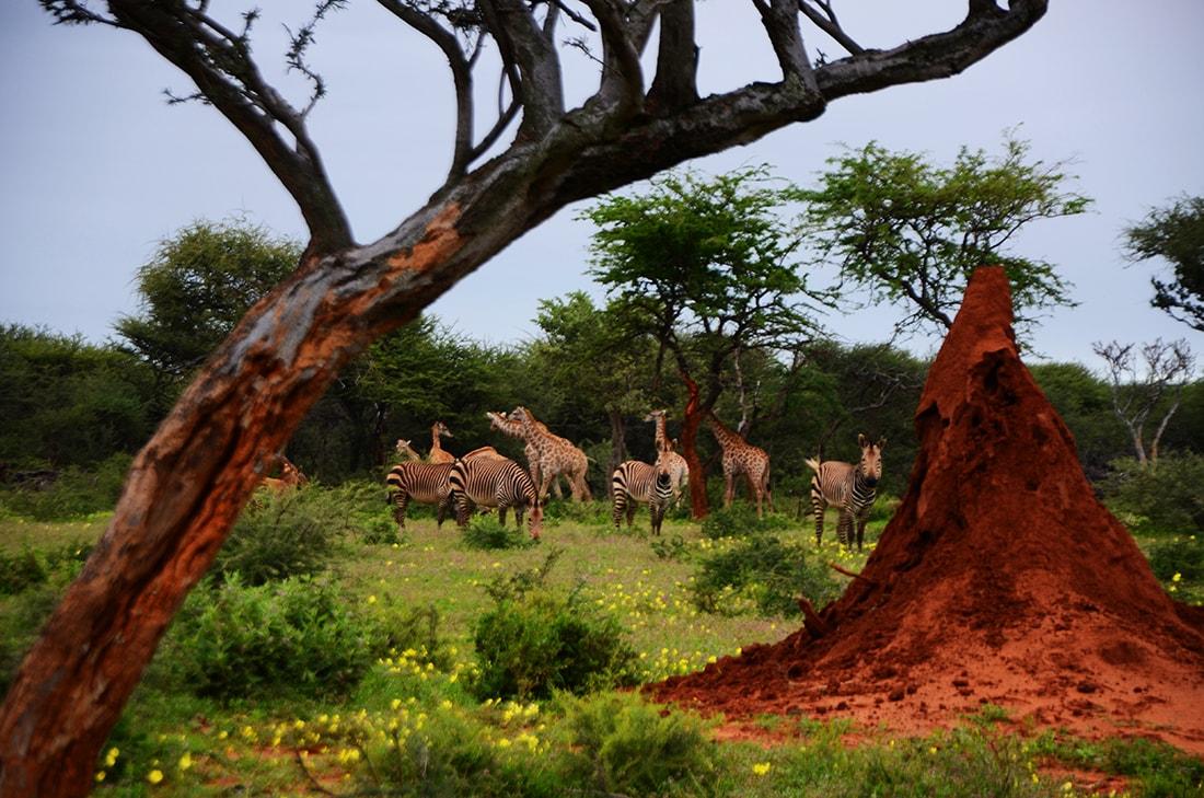 Acacia, termitaio, animali