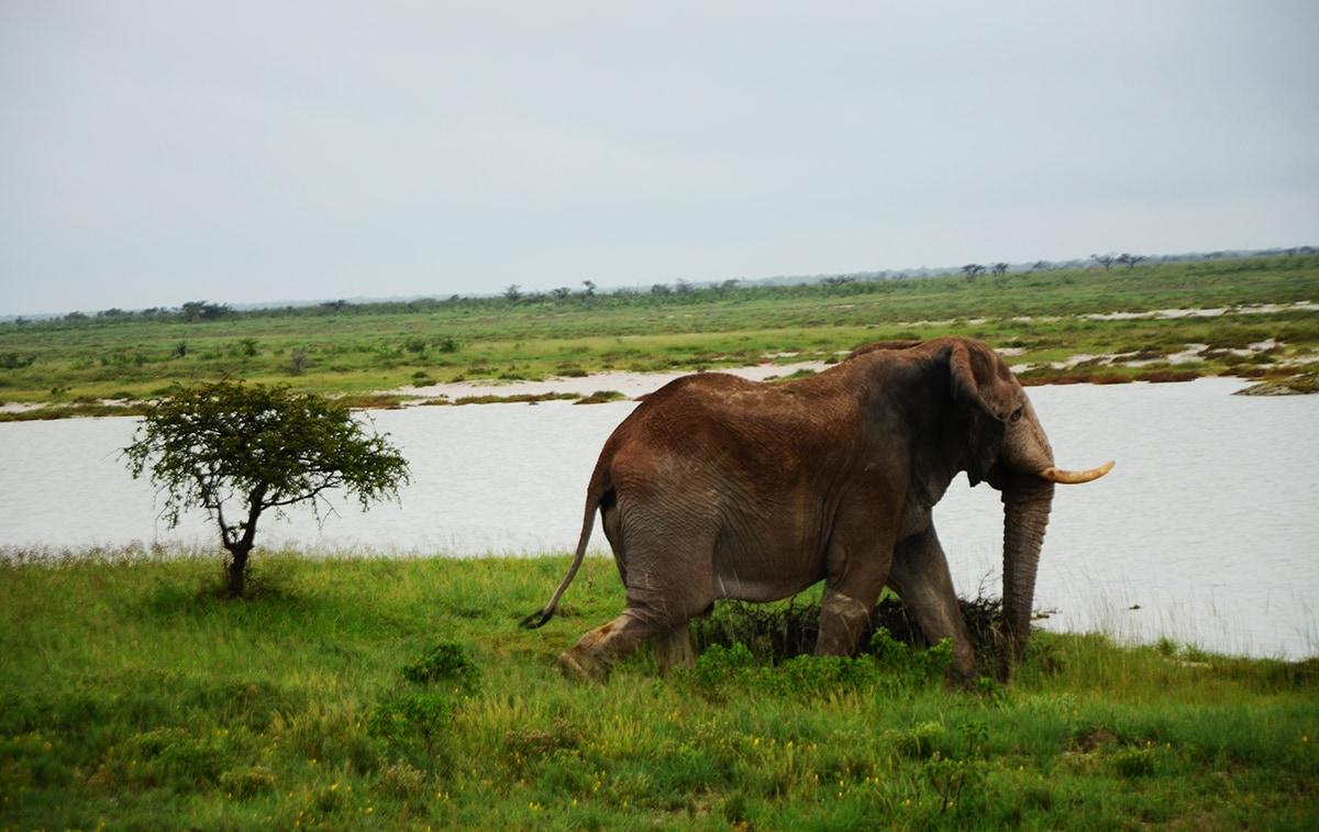 Elefante in movimento