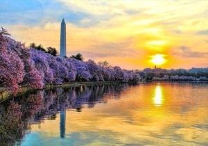 Washington Cherry Blossom, la moda dei ciliegi in fiore